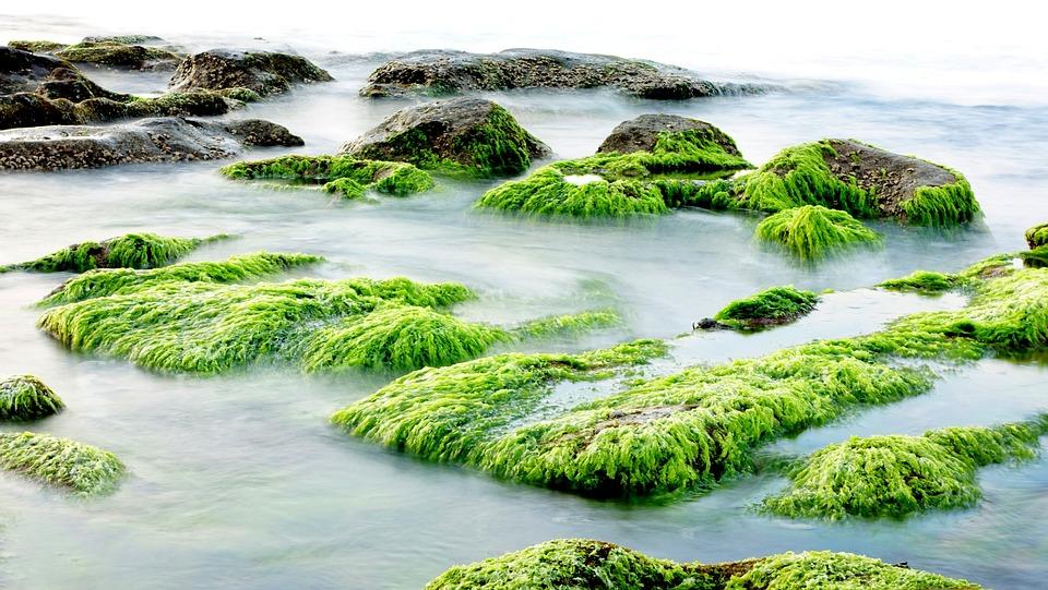 Algues algoterme