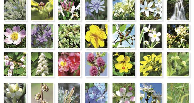 38-fleurs-de-bach